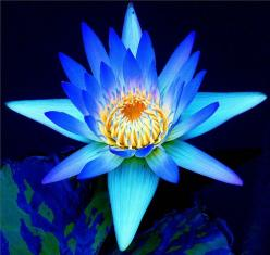 Lily Blue (por Stanley Zimny): Blue Flowers, Color, Flowers Blue, Lilies, Beautiful Flowers, Flowers Garden