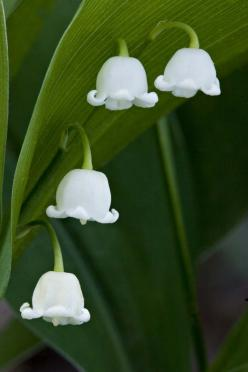 lily of the valley: Favorite Flowers, Lily Of The Valley, Lilies, Beautiful Flowers, Gardens, Flower Power, Flowers Garden