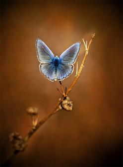 """Literature and butterflies are the two sweetest passions known to man.""   Vladimir Nabokov: Beautiful Butterflies, Blue Butterfly, Bugs, Nature, Flutterby, Photo"