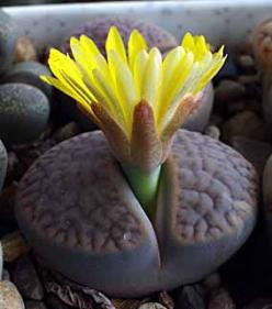 Lithops- yucky looking little things, but the flowers might make them worth it? Not sure. In their normal form they remind me of mold.: Little Things, Cactus Succulents, Succulent Plants, Lithops Succulent, Flowers, Worth It, Garden, Living Stones