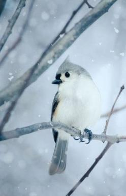 Little bird: Tufted Titmouse, Snow, Fine Art, Birds, Bird Photography