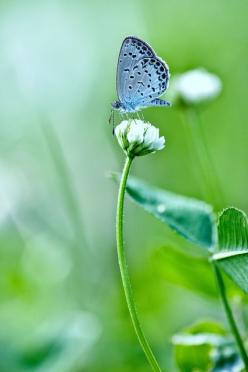 Little Blue Butterfly by chibitomu on Flickr.: Butterflies Dragonflies, White Flower, Blue Butterflies, Animals, Pretty Blue, Blue Butterfly 3, Butterfly Beautiful Flowers, Photo