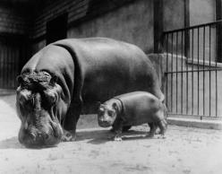 little hippo!: Babies, Adorable Animals, Baby Hippopotamus, Hippopotamus Photographic, Hippos, National Zoo, Products