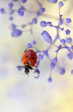 Little ladybug. @3 likes 4 repins  Profile picture of Jan Henderson    Jan Henderson via Worldwide Realtor: Animals, Nature, Mandy Disher, Ladybugs, Ladybird, Lady Bugs, Flower, Ladybug Fly