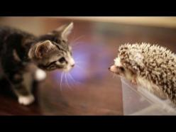Loki the Kitten Meets Harley the Hedgehog! So cute i can't breathe.♥♥♥ My two favorite animals!♥♥♥: Cute Hedgehog, Adorable Kittens, Cute Kittens And Cats, Cutest Kitten, New Friends, Cats Kittens, Kitty, Hedgehogs
