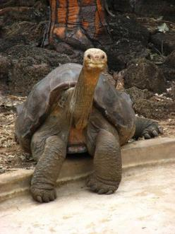 Lonesome George (Galapagos Tortoise) - the sole surviving member of his species who were hunted to near extinction -  has died today (June 25th, 2012). He was estimated to be around 100 years old. How profoundly sad to witness the extinction of one of the