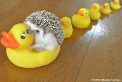 Look at that adorable thing!: 20 Hedgehogs, Cute Hedgehog, Rubber Ducky, Guy, Better, Ducks, Dr. Who, Hedgehog Riding, Lifeisgood
