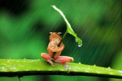 Look At This Chill Frog Using A Leaf As An Umbrella: Animals, Umbrellas, Nature, Frogs, Leaves, Photo, Rain