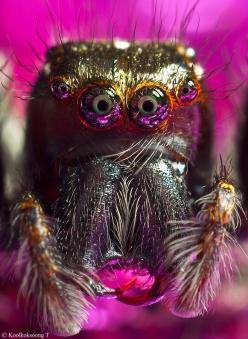 Look deep into my eyes! This stunning up close and personal shot of a jumping spider is almost mesmerizing! (photo: Namo Gallery): Macro, Portrait Jumping, Arachnid, Jumping Spiders, Photo, Eye, Animal