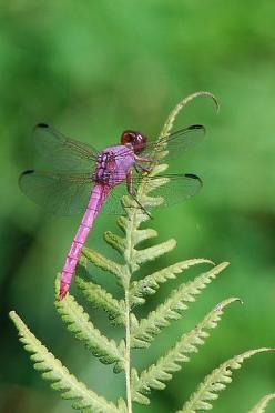 Look to the magical dragonflies for poetic inspiration. (Purple dragonfly sunning by Ben Waggoner): Butterflies Dragonflies, Dragon Flies, Purple Dragonfly, Make It Easier To, Pink Dragonfly, Dragonfly S, Butterflys Dragonflys Bugs, Animal