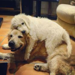 Looks exactly like my dogs :) except the fur colors are opposite on mine, the puppy is red, but they do this all the time :): Doggie, Animals, Dogs, Best Friends, Sweet, Puppy Love, Golden Retrievers, Pets