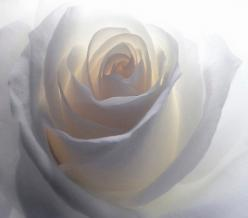 looks like the light is deep inside the rose. beautiful shades of white: Soft White, White Roses, Nature, Beautiful, Posts, Beauty, Flowers, Photo, Garden