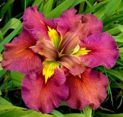 Louisiana Iris - gorgeous! (I've got to find this one!!): To Live, Louisiana Iris, Joy, Iris Joie, Beautiful Flowers, Irises, Garden, Flower