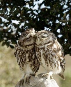 love and in love: Sweet Owl, Owl Kiss, Animals, Creature, Pet, True Love, Things, Birds, Owls