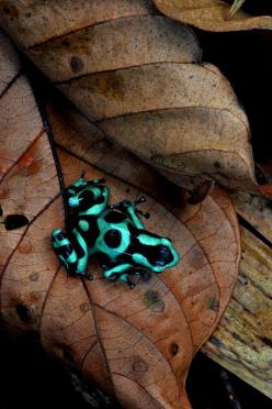 »✿❤Love Frogs!❤✿«: Animals, Nature, Color, Poison Dart Frogs, Photo, Wound