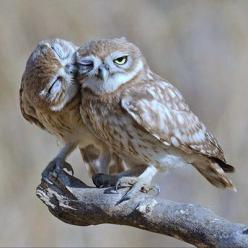 Love is Love: Uri Kolker, Owl Kiss, Animals, Little Owls, Sweet, Nature, Beautiful, Photo, Birds