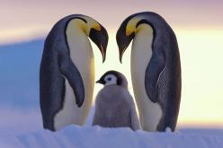 LOVE OF PARENTS: The emperor penguins fight for survival and to protect their only baby in the frozen Antarctic ice desert. Antarctica: Atka Bay, Weddell Sea. (Photo and caption by Claus Possberg/National Geographic Photo Contest): Photos, Animals, Nature