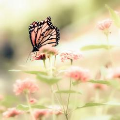 Love the color of the butterfly on the flowers. God is good that way...     Queen of Spring © photography by bomobob: Pink Butterfly, Queen Of, Butterflies, Nature, Beautiful, Spring, Photography, Flower, Animal