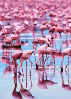 Lovely birds on stalk legs - flamingos reflected in the still waters at the beach sand's edge. RESEARCH #DdO:) - https://www.pinterest.com/DianaDeeOsborne/dido-reflections/ - other REFLECTIONS of all sorts #Pinterest board.  - That's a LOT of pink