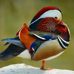 lovely wood duck - looks like it wanted to wear ALL it's favorite outfits, and couldn't decide -so wear em all: Mandarin Duck, Poultry, Beautiful, Ducks, Birds, Photo, Animal