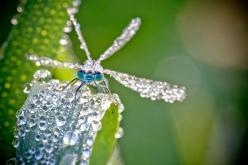 Macro Photographs of Dew-Covered Dragonflies and Other Insects by David Chambon: Macro, Nature, Dew Drop, David Chambon, Dragonfly, Insects, Photo, Dragonflies