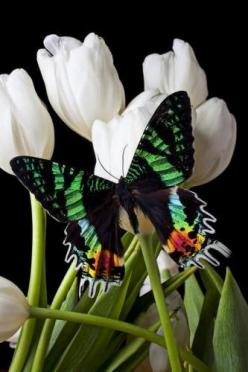 Madagascar Butterfly on tulips two of my favorite things (by Garry Gay): Beautiful Butterflies, Nature, White Tulips, Flowers, Moth
