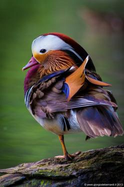 :Madrin duck, the male is so very colorful - via: sjack959: - Imgend: Animals, Nature, Mandarin Duck, Color, Ducks, Beautiful Birds, Top Models