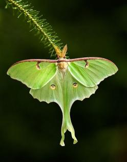 Magnificent Luna Moth - I have yet to see one of these guys in person... still looking. 7.4.14 - I finally encountered a Luna moth Camden, Maine whike camping !!! Yay!: Butterfly, Animals, Butterflies, Nature, Magnificent Luna, Art, Luna Moths, Beautiful