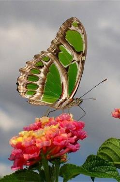 Malachite Butterfly (Siproeta stelenes: Beautiful Butterflies, Lantana Flower, Animal