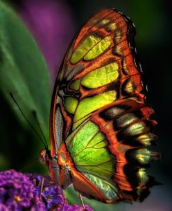 malachite, so beautiful!  Only God could create such beauty!: Beautiful Butterflies, Nature, Color, Flutter By, Flutterby, Moth