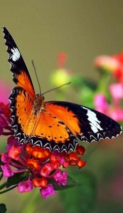 Malay Lacewing Butterfly on Lantana: Beautiful Butterflies, Photo, Animal