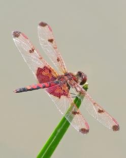 "Male Calico Pennant ~ by Vicki's Nature ~ Miks' Pics ""Arachnids and  Insects l"" board @ http://www.pinterest.com/msmgish/arachnids-and-insects-l/: Butterlfly Dragonfly Moth, Butterflies Dragonflies Moths, Dragonflies Butterflies, Calico Pe"