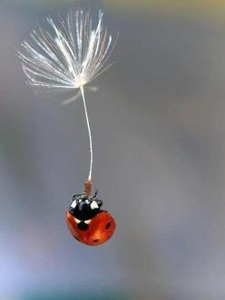 Man was made captive by Satan, and would have remained so forever had not God specially interposed.: Animals, Nature, Dandelion, Ladybugs, Ladybird, Things, Lady Bugs, Photo