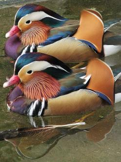 Mandarin Ducks. I dont like them. They think they are soo much cooler than the other ducks....... :): Colour, Poultry, Color, Creatures, Birds Ducks, Beautiful Birds, Mandarin Ducks, Animal