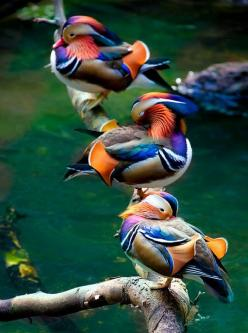 Mandarin Ducks  Sometimes, things like this make me think that God is such a show off.: Animals, Mandarinducks, Nature, Color, Beautiful Birds, Mandarin Ducks, Photo