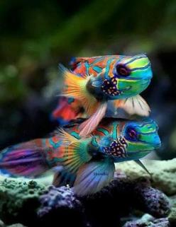 Mandarin Fish, I can be a rainbow be a a rainbow be a rainbow too.: Sea Life, Sealife, Sea Creatures, Ocean, Mandarin Fish, Fishtank, Animal, Colorful Fish