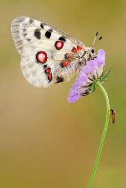 Martin Amm -  Great parnassius apollo: Beautiful Butterflies, Animals, Butterfly, Butterflies, Flutterby, Butterfly Moth