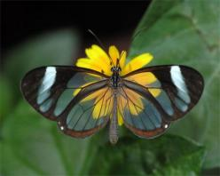 *marvelous* shot!: Beautiful Butterflies, Butterfly, Animals, Nature, Wings, Moth, Glass Wing