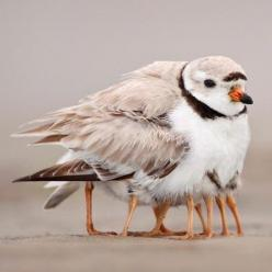 Matthew 23:37 How often I wanted to gather your children together, as a hen gathers her chicks under her wing, but you were not willing!: Piping Plover, Animals, Mother, Nature, Legs, Baby, Photo, Birds