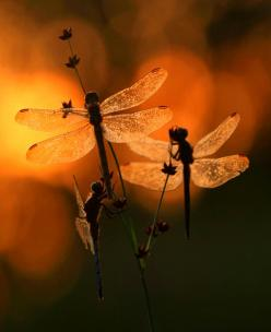 May your day be filled with blessings like the sun that lights the sky, and may you always have the courage to spread your wings and fly. ~Irish Blessing: Dragon Flies, Dragonfly S, Art, Photo, Dragonflies, Animal