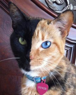 ♥~Meet Venus, the Majestic Two-Toned-Faced Cat~♥~Click on Venus and enjoy more beautiful photos of her~: Cats, Beautiful Cat, Meet Venus, Pretty Cat, Chimera Cat, Two Toned Faced Cat, Majestic Two Toned Faced, Kitty, Animal
