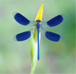 megu impress: Blue Dragonfly, Dragon Flies, Animals, Beautiful Blue, Dragonflies Butterflies, Color, Beauty