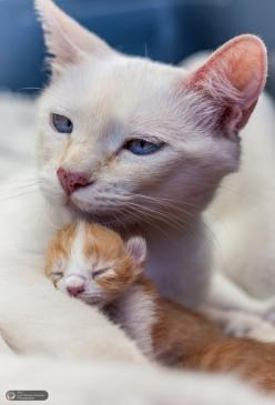 mel-cat: Mother and daughter by juanram0nhttp://500px.com/photo/43580102: Cats, Babies, Kitty Cat, Mothers, Sweet, Chat, Feline, Animal