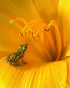 ~~Mesmerized ~ tiny frog, yellow flower macro by T Vogt~~: Yellow Flowers, Animals, Nature, Color, Frogs, Photo