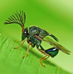 Metallic Wasp...amazing bug with the emerald green colors often seen in the tiny miracles of the created world, especially among insects. Detail of the feathery looking antenna associated with moths gives a unique photo! -DdO:): Animals, Bugs, Metallic Wa