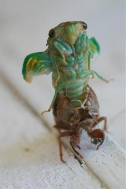 Metamorphosis.  It is one thing to have a larvae or a worm, but that it would transform into a totally different insect, is really something else!: Picture, Molting Cicada, Animals སེམས ཅན, Animals Insects Bugs, Butterflies Insects, Emerging Cicada, Cicad