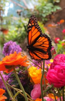 "☺♥ MikeTheGardener.net ♥☺ Beauty on beauty! Monarch by trudap Michael The ""GuyOfGoodness"" ☺♥ GuyOfGoodness.com ♥☺: Beautiful Butterflies, Color, Moth, Flower, Animal"