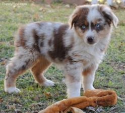 Miniature Australian Shepherd! This reminds me of my cousins dog Tucker but he wasn't a minature: Australian Shepard, Dogs, Aussies, Miniature Australian Shepherds, Puppy, Box, Cousins Dog, Animal