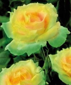 Mint Julep Rose.... so pretty...I want some outside so bad!: Beautiful Roses, Julep Rose, Green Roses, Gorgeous Roses, Beautiful Flowers, Yellow Roses, Rose Garden, Mint Julep