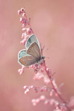 Momma, i love you. Grandma, I miss you. You will always be the butterfly that rests on my shoulder.: Butterfly, Pastel, Animals, Nature, Butterflies, Color, Beautiful, Pink, Flower